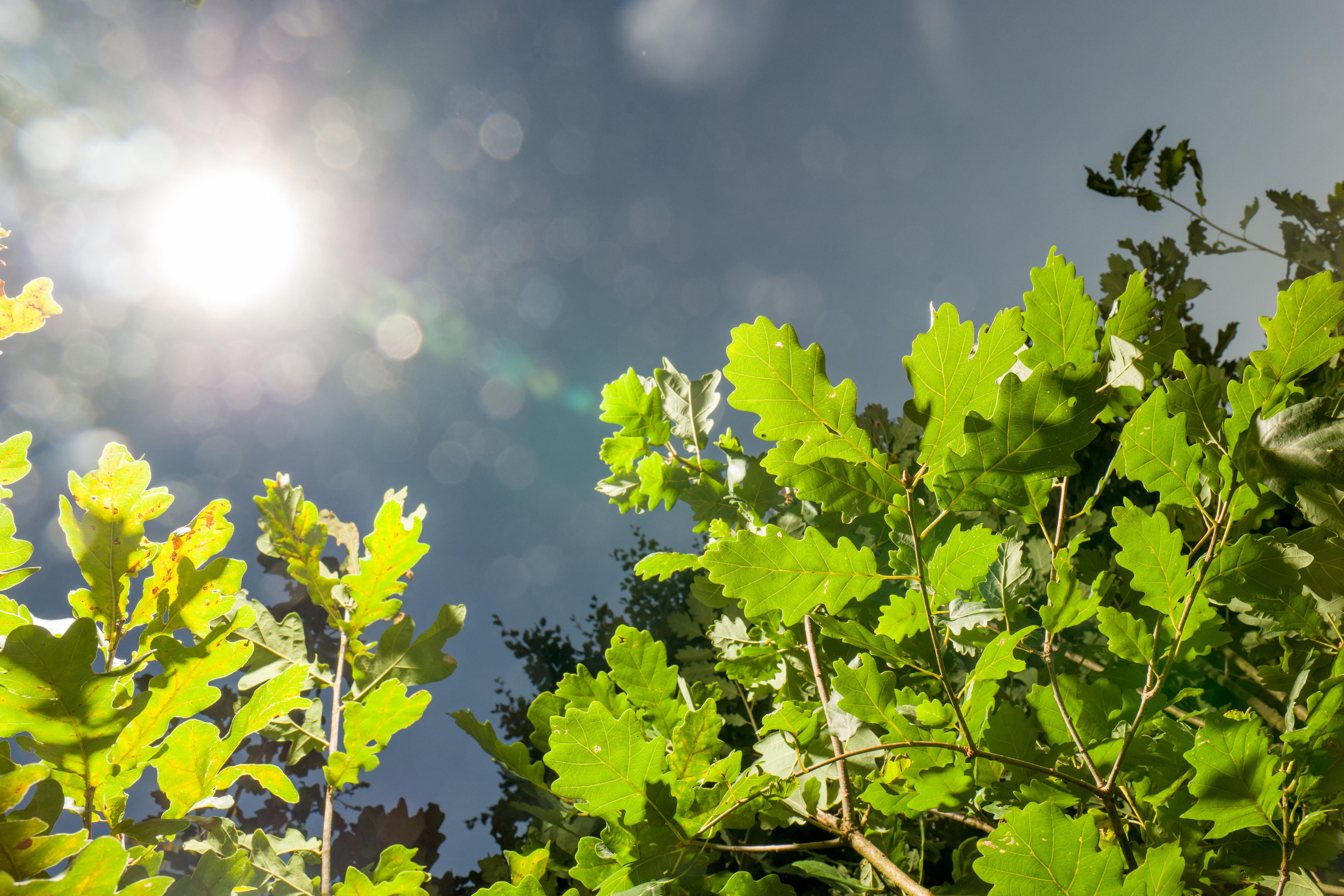 Listje na veji drevesa, v ozadju nebo in sonce, ki se blešči