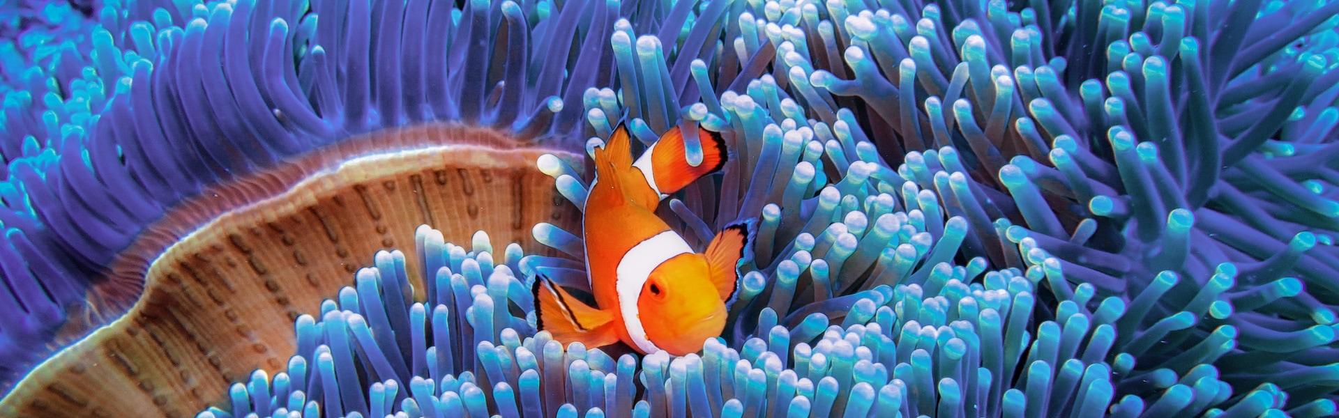 Oranžno-bela riba, med modrimi koralami.