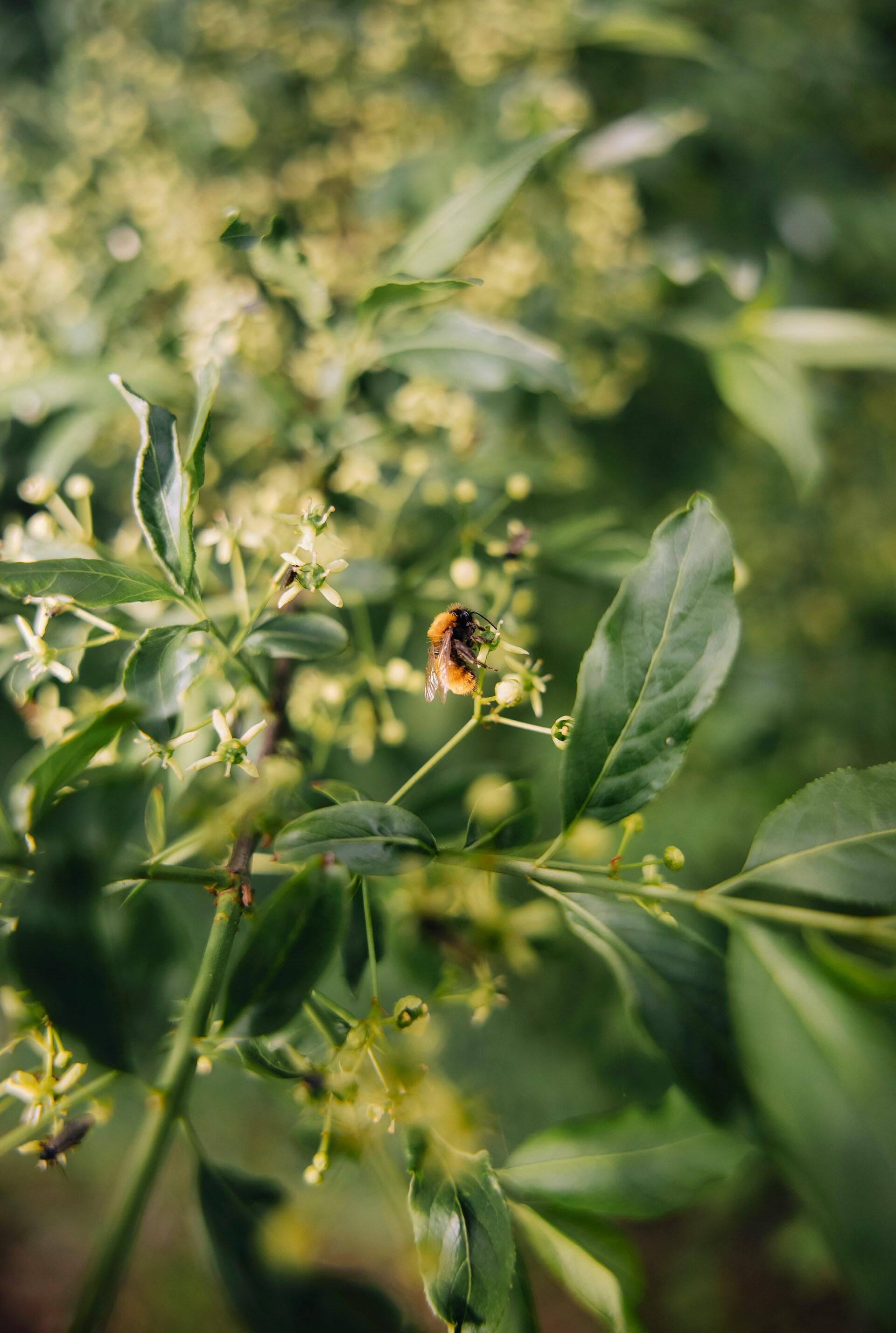 Čebela srka nektar iz cveta.